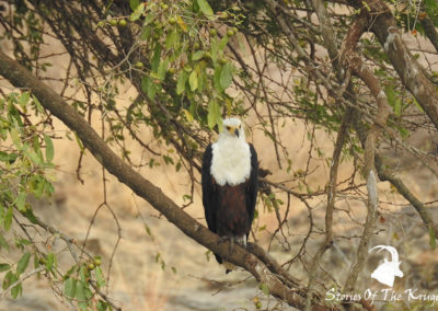 African Fish Eagle On The S25