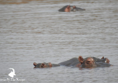 African Hippos At Sunset Dam