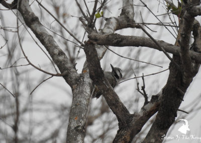 Bearded Woodpecker On The S25