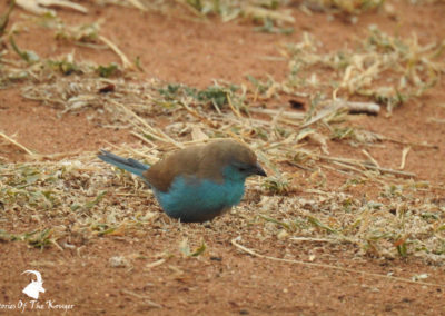 Blue Waxbill In Malelane Camp