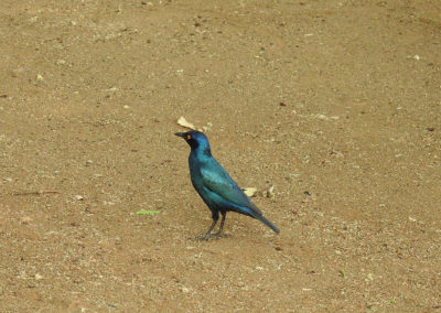 Greater Blue Eared Starling At Tshokwane