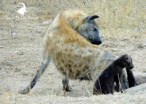 Hyaena Kruger National Park and cub
