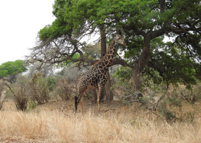 Southern Giraffe On The H10 Kruger