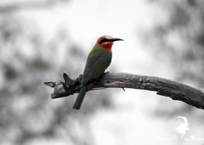 White Fronted Bee Eater On The S25