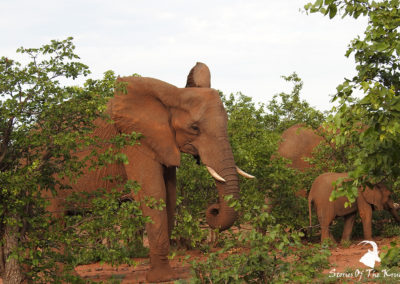 African Elephant Herd Browsing Mopani Shrubs