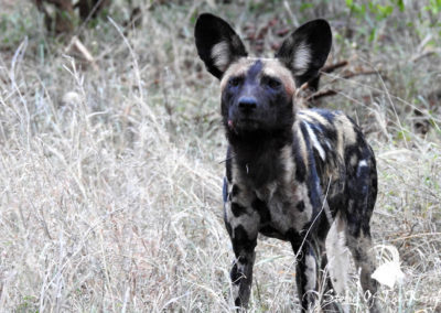 African Wild Dog In The North