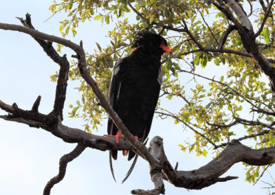 Bateleur Eagle On The Way To Mopani