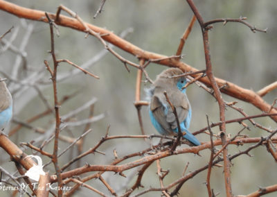 Blue Waxbill On Mahonie Loop