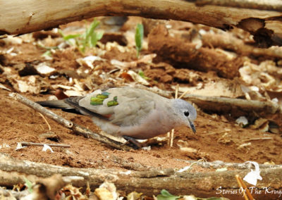 Emerald Spotted Wood Dove On The S63