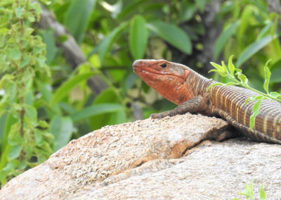 Giant Plated Lizard In The Kruger National Park