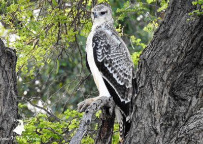 Juvenile Martial Eagle On The H14