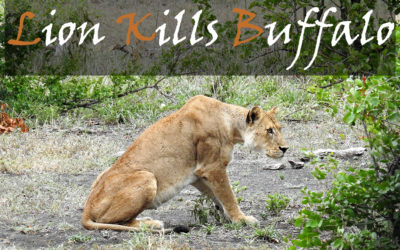 The Lion Kill In The Northern Kruger National Park