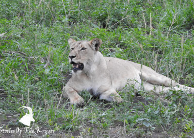 Lions Of The Northern Kruger Park