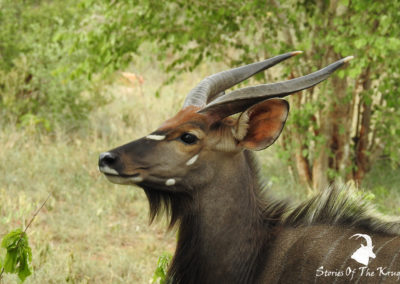 Male Nyala On Mahonie Loop