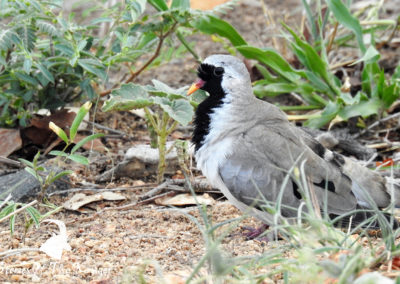 Namaqua Dove On The H14