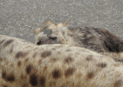 Spotted Hyaena Close To Mopani