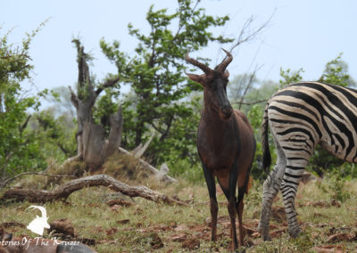 Tsessebe Accompanied By Burchells Zebra