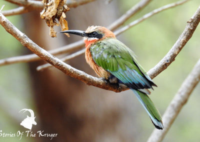 White Fronted Bee Eater Crooks Corner