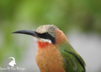 White Fronted Bee Eater On The Banks Of The Shingwedzi
