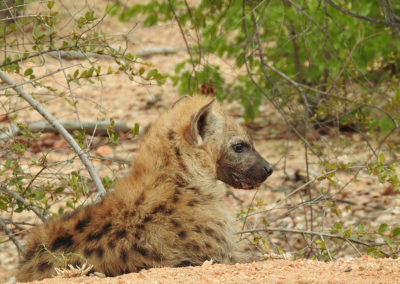Young Spotted Hyaena Close To Phalaborwa Gate