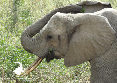 African Elephant On The H4-1 Kruger Park