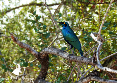 Beautiful Greater Blue-eared Starling Kruger Park