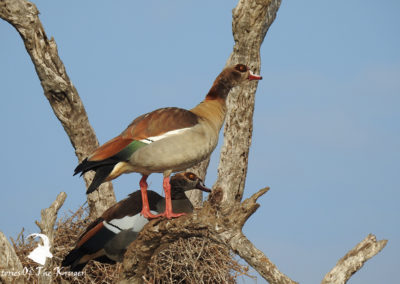 Egyptian Geese In Tree At Sunset Dam Kruger Park