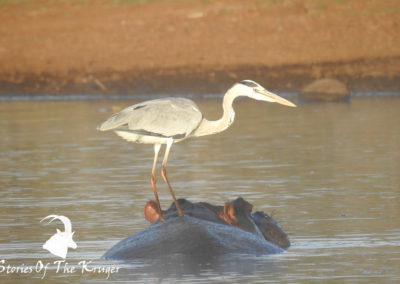 Grey Heron Riding Hippo At Sunset Dam Kruger Park