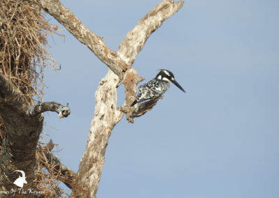 Pied Kingfisher Perched At Sunset Dam Kruger Park