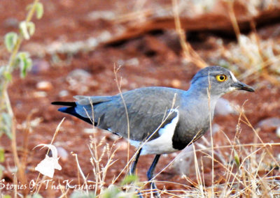 Senegal Lapwing On The S25 Kruger Park