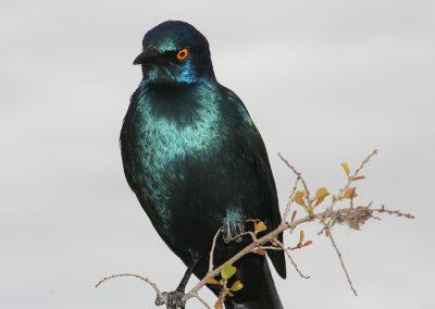 Cape Glossy Starling Bird