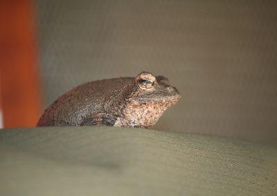 Foam Nest Tree Frog