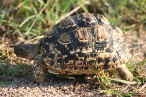 Kruger National Park Leopard Tortoise