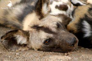 Kruger Park Animals African Wild Dog
