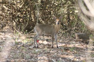 Kruger Park Animals Common Duiker