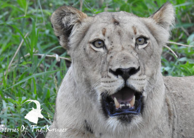 African Lioness In The Kruger National Park