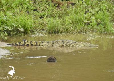 African Nile Crocodile In The Shingwedzi River
