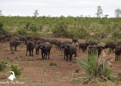 Big Herd Of Buffalo In The Northern Kruger Park