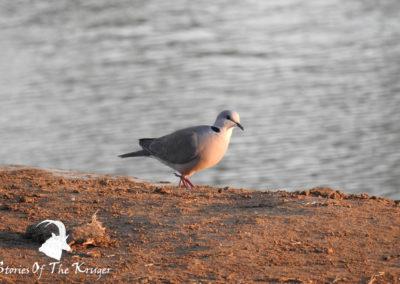 Cape Turtle Dove At Sunset Punda Maria Hide