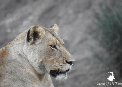 Dzundzwini Lioness
