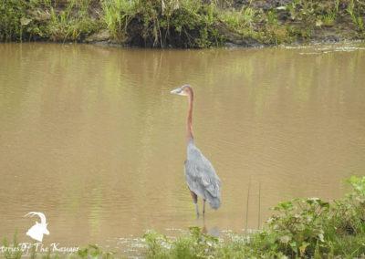 Goliath Heron On The Shingwedzi River