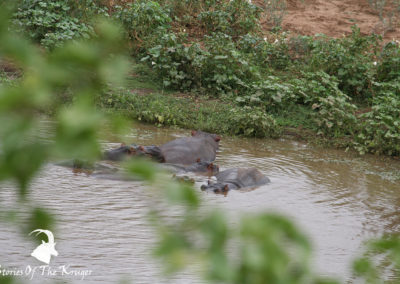 Hippos In The Shingwedzi River