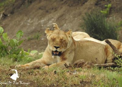 Lion Pride Close To Punda Maria