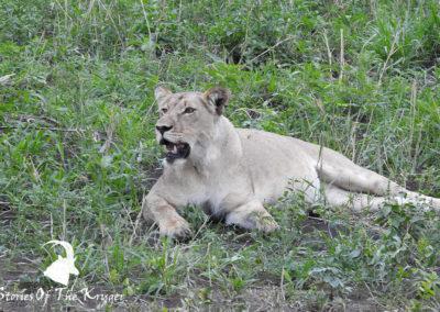 Lions Of The Northern Kruger Park