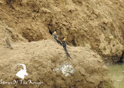 Long Tailed Paradise Whydahs Transitional Phase