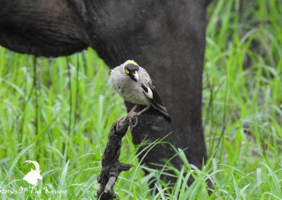 Male Wattled Starling Amongst The Buffalo
