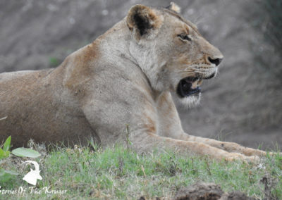 Punda Maria To Shingwedzi Lion Sighting