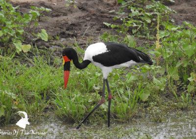 Saddle Billed Stork On The Shingwedzi River