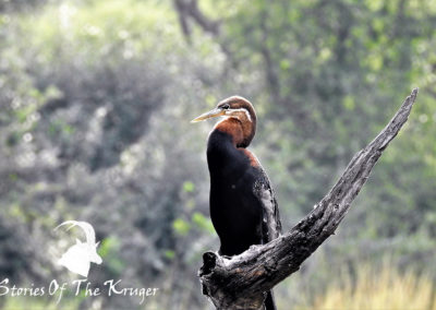 African Darter At Lake Panic Bird Hide Kruger Park