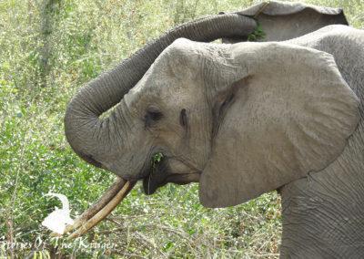 African Elephant On The H4-1 Kruger Park